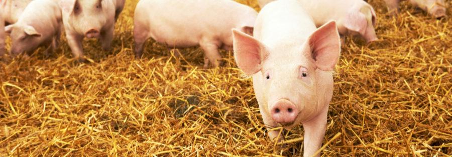 Inacceptable animal farming